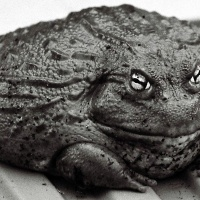 The Biggest Frog I Have Ever Seen