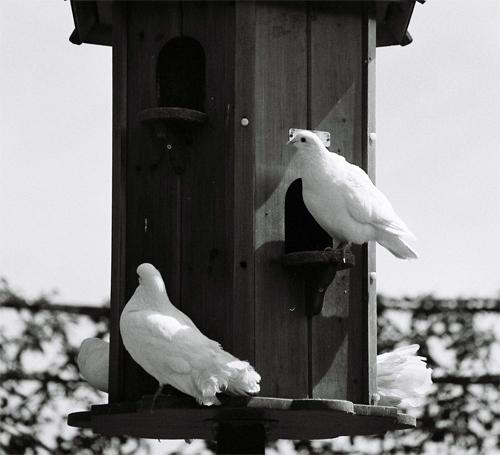 doves05