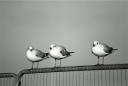 seagulls-(9)