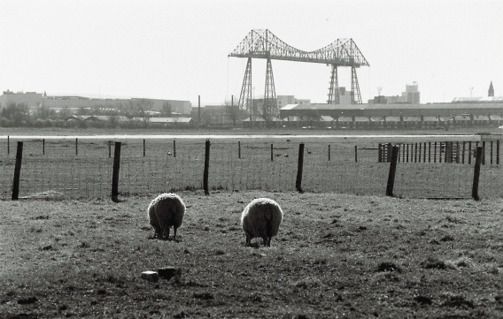 Sheep graze in the shadow of the bridge.